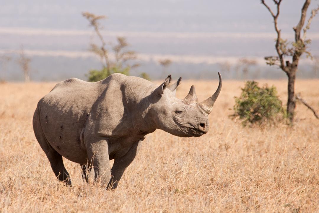 Image result for black rhinoceros