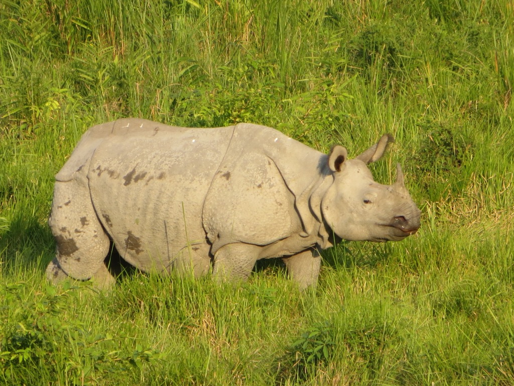 Duly answer asian one horned rhino will