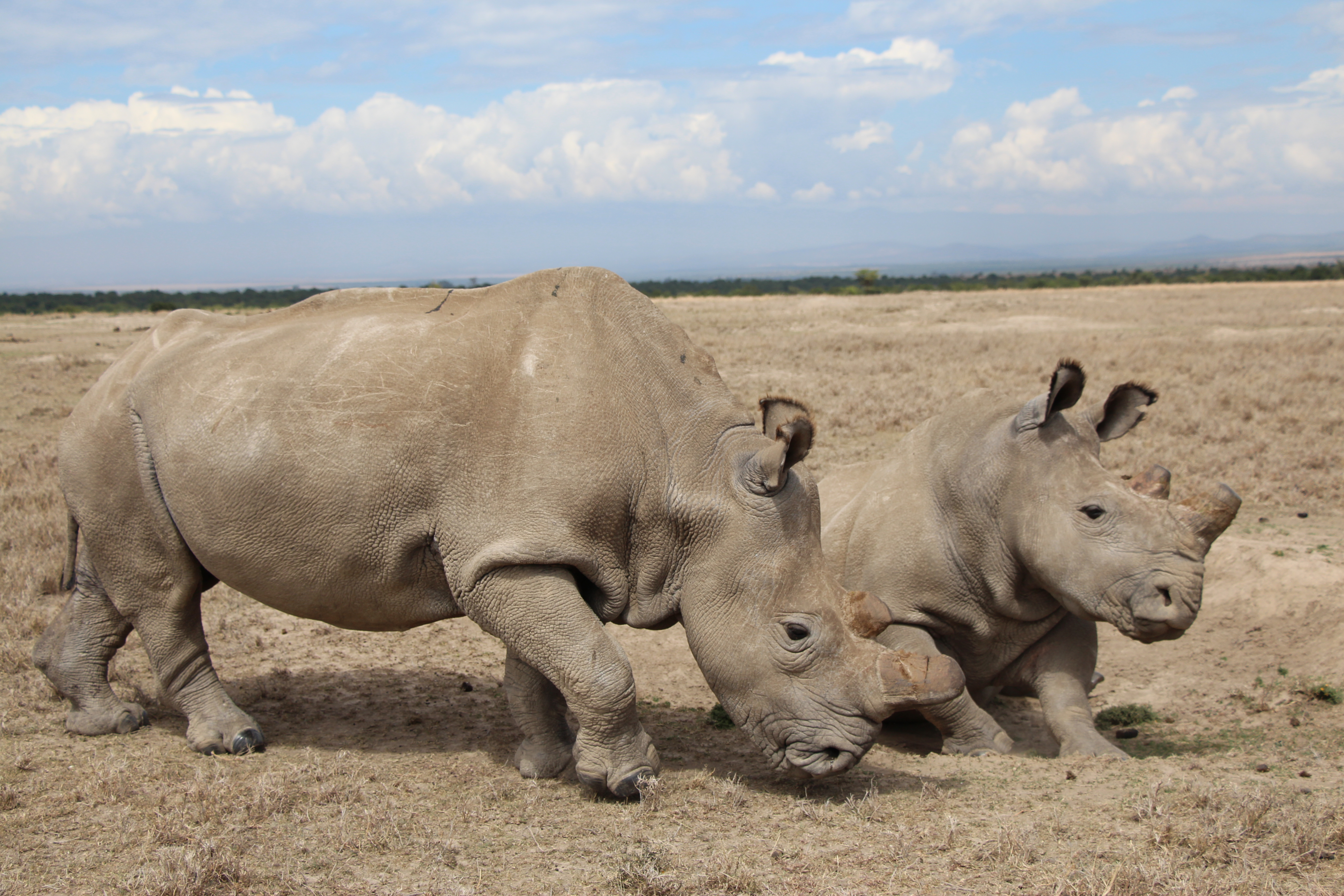Adopt a Northern White Rhino