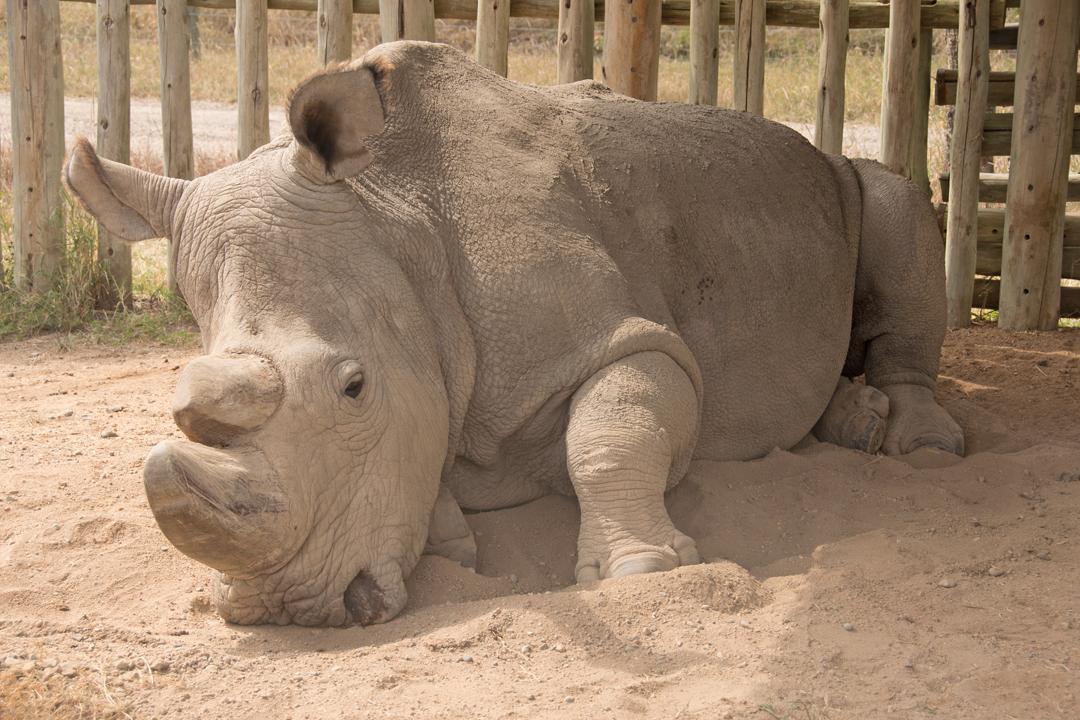 Sudan - Last Northern White Rhino