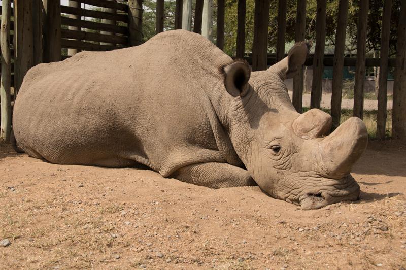 SUDAN, 1973 - 2018. Foto: Helping Rhinos