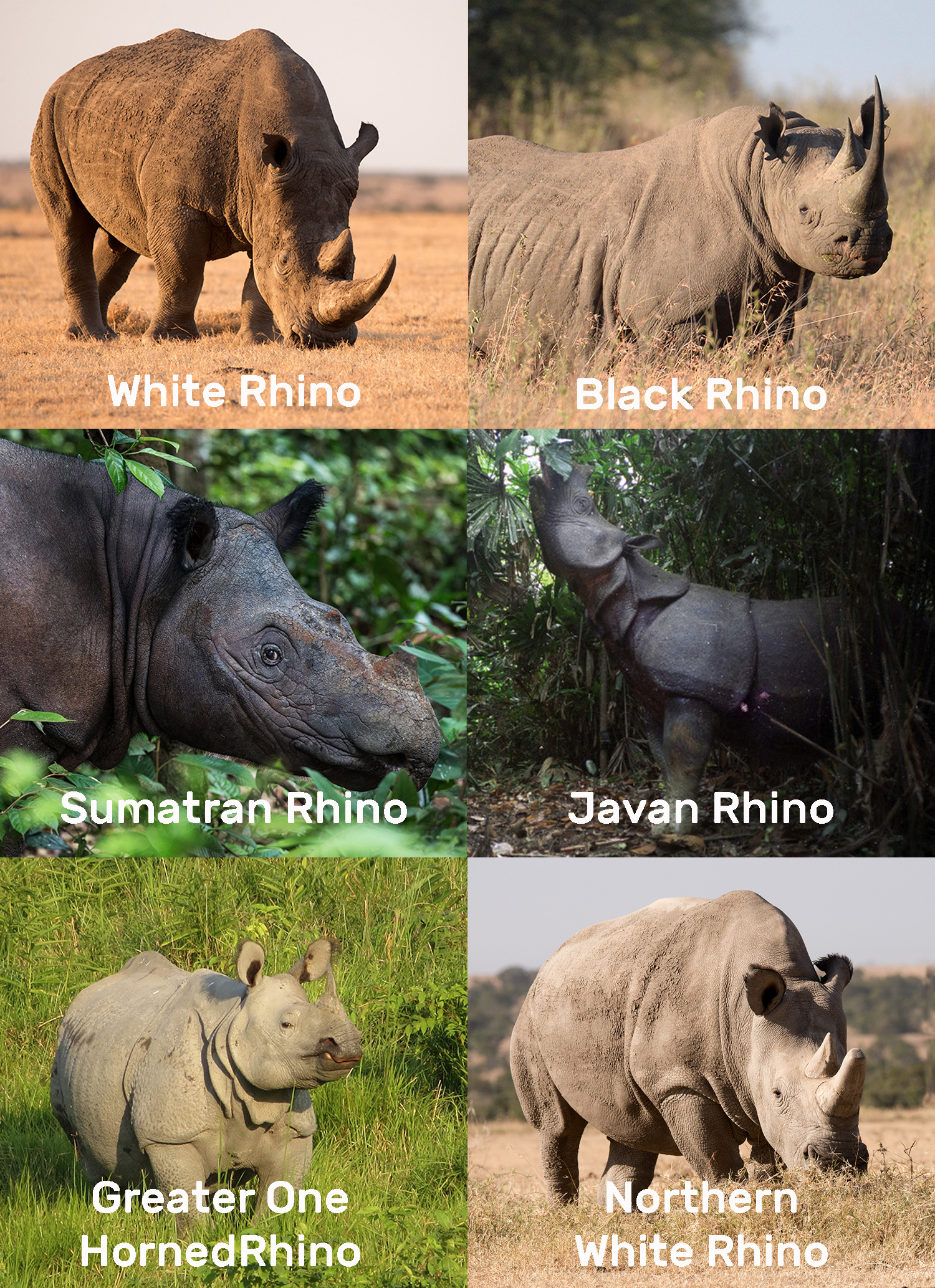 % Species of Rhino plus Northern White Rhino