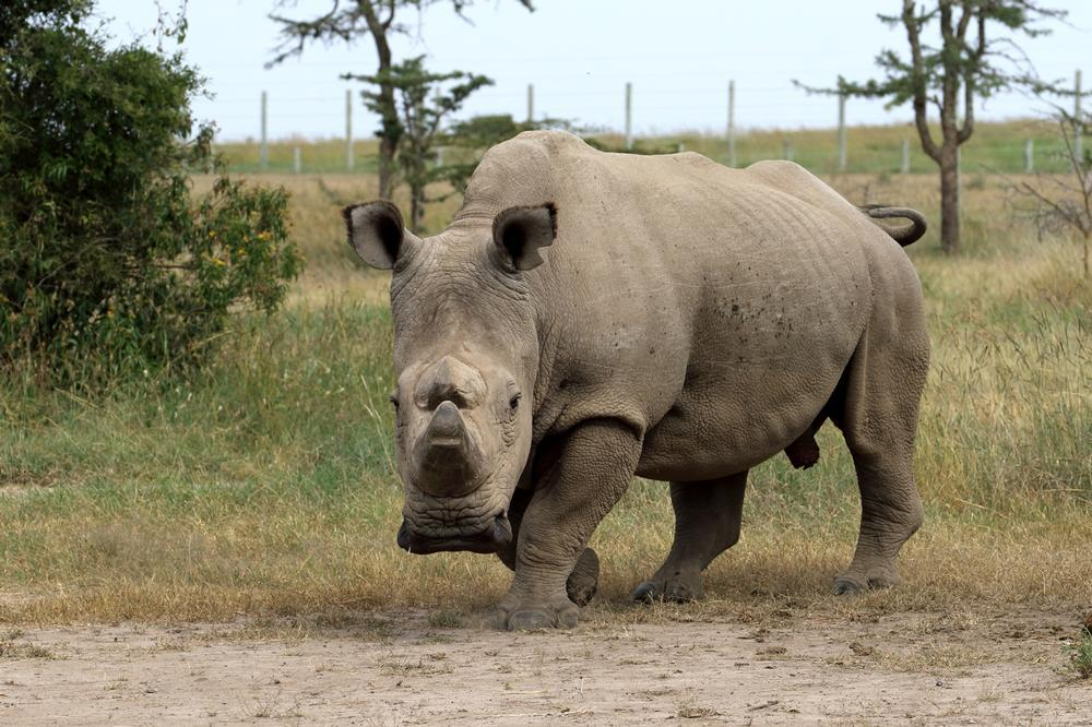Rhino embryo could see return of northern white rhinos