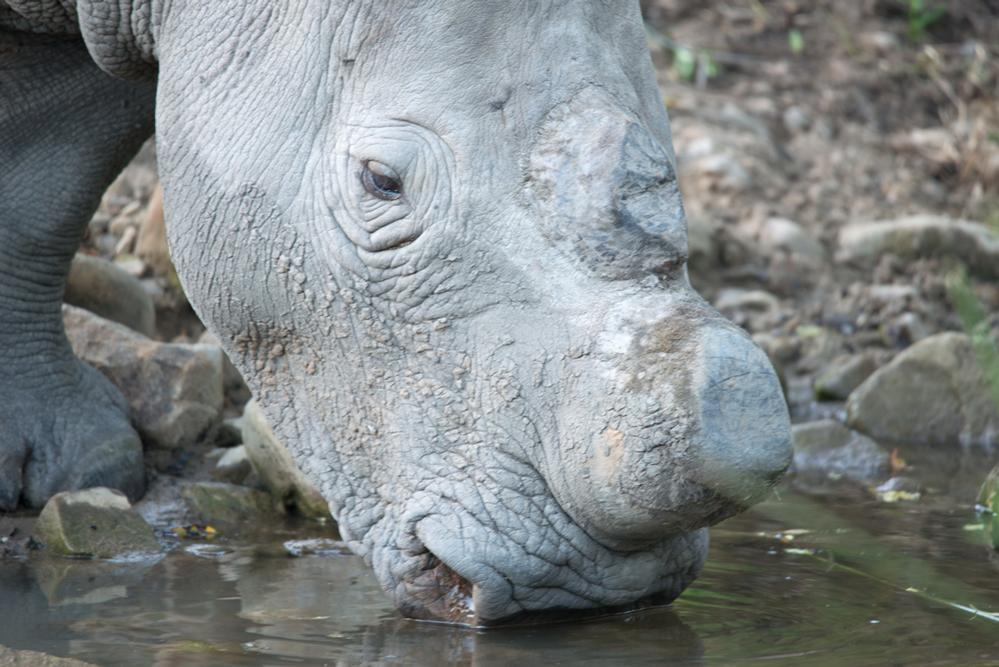 South Africa's No to Rhino Horn Trade