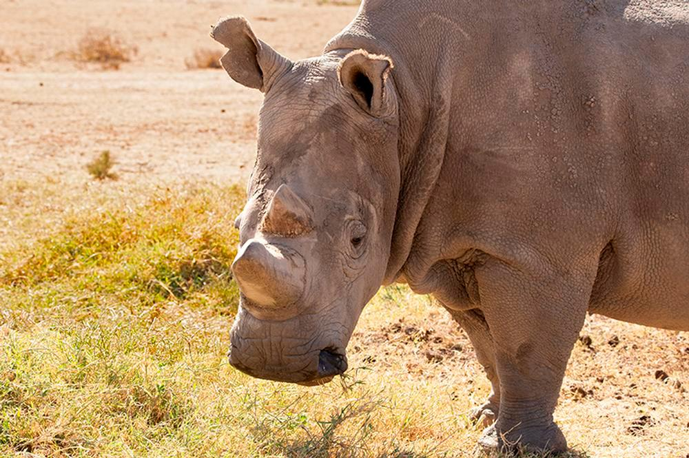 Northern White Rhino Edge Closer to a Miracle