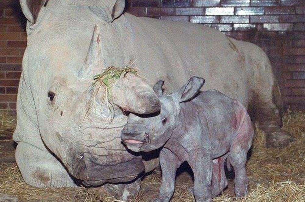 Great Progress for the Northern White Rhino