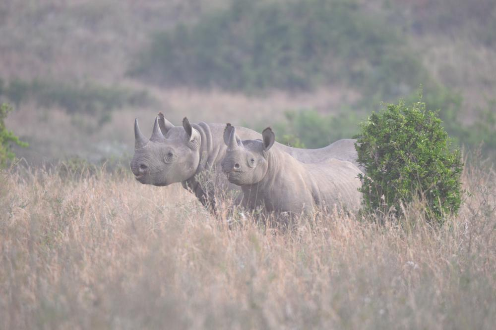 CITES Agree to Increase Black Rhino Trophy Hunting Quota