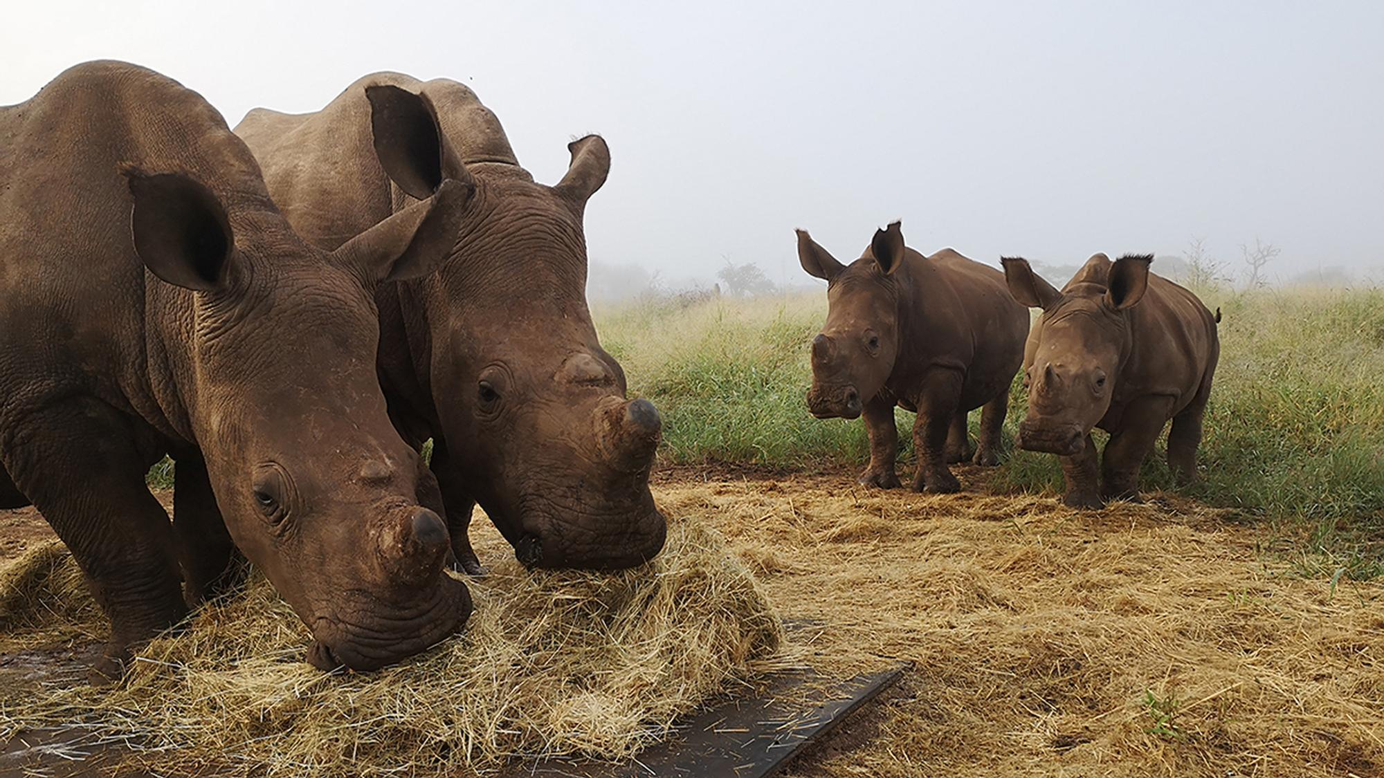 Every Rhino Counts - The Importance of Rewilding Rhinos