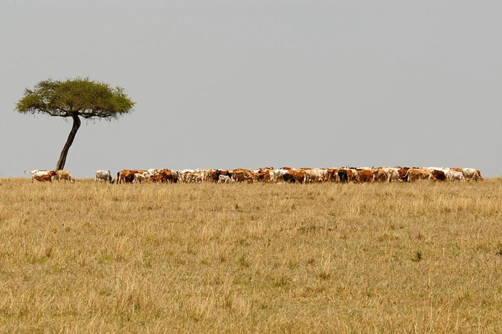 Laikipia Pastoralist and Wildlife Situation