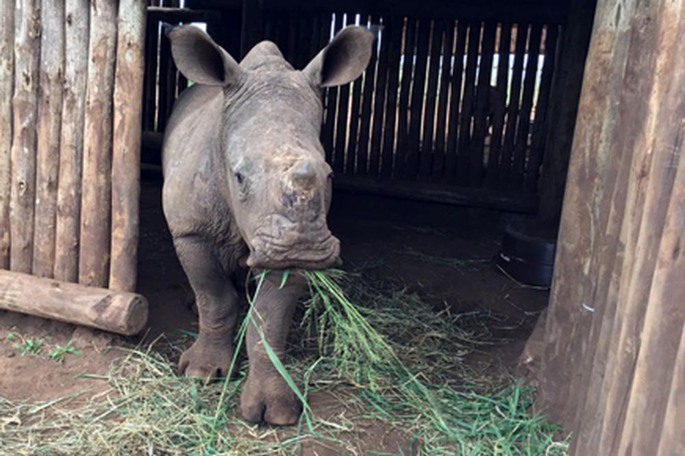 Meet Mpilo - Our Latest Rhino Orphan