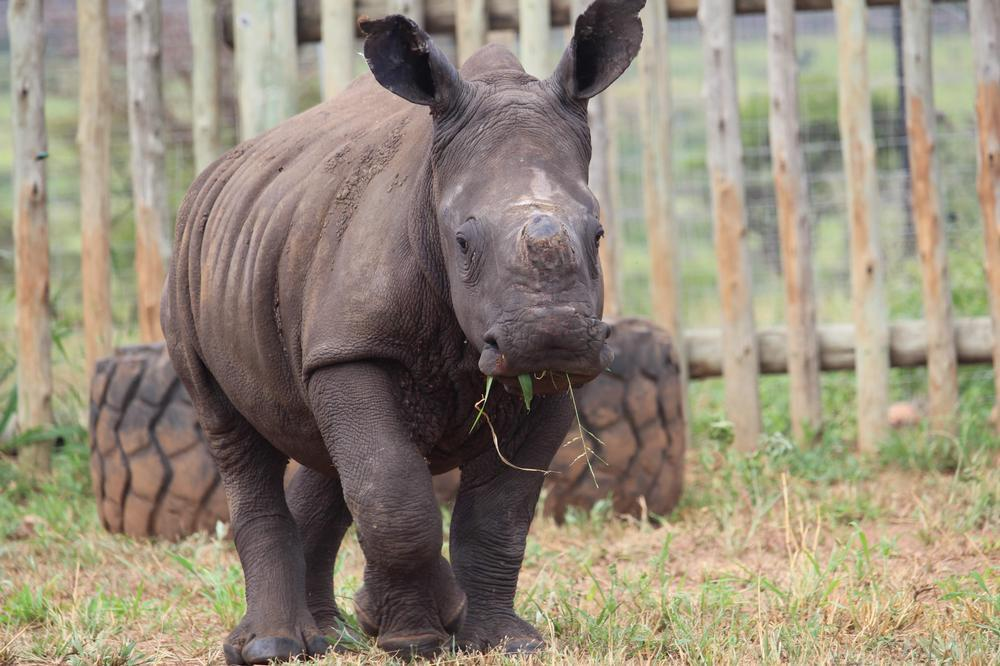 New Rhino Rescue in 2020 - Meet Zimi