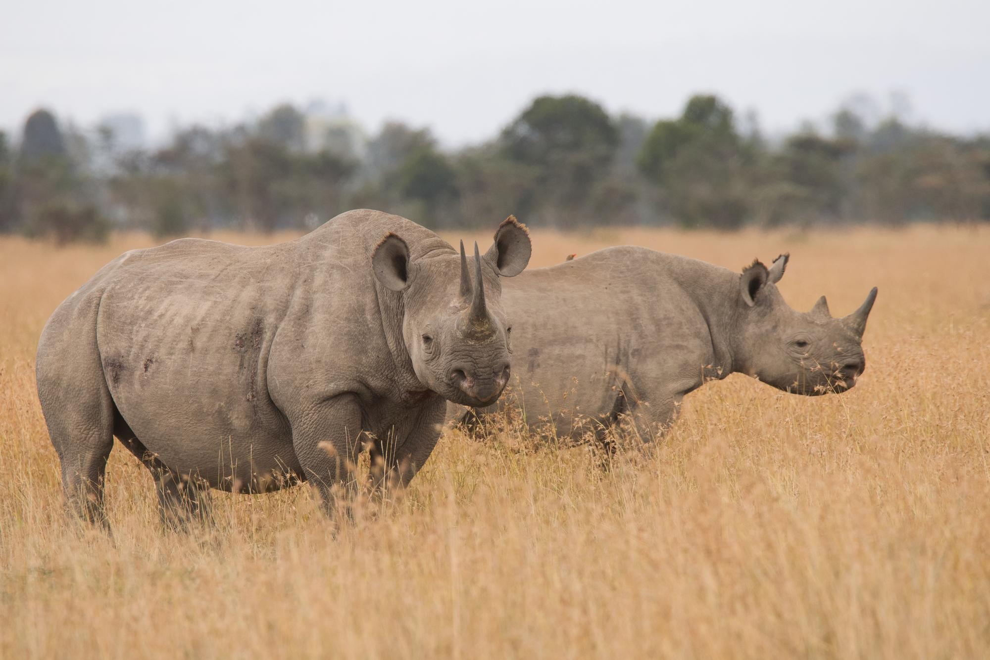 Protecting the Black Rhino of Ol Pejeta