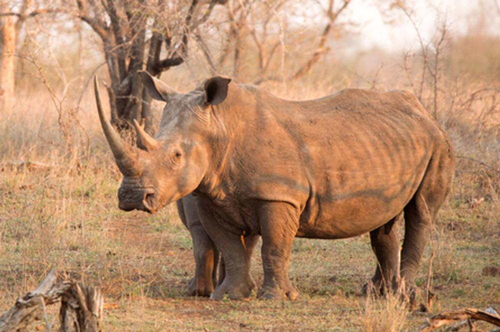 South Africa To Allow Domestic Rhino Horn Trade