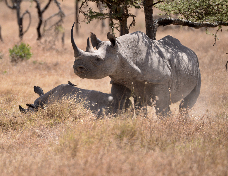 Black Rhino and Calf on Ol Pejeta Conservancy